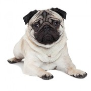 1a0fa6a974f ... Wallmonkeys WM149496 Pug Peel and Stick Wall Decals (36 in H x 31 in W)  ...